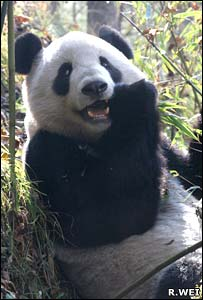 Giant panda (Rongping Wei, Wolong Giant Panda Reserve Centre)