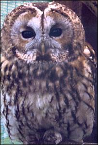 Dai the tawny owl
