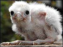 Stolen falcon chick