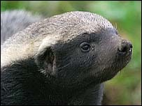 The man-eating Iraqi honey badger