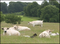 White Park cattle at the Dinefwr Estate