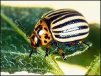 Cororado beetle. Image: BBC