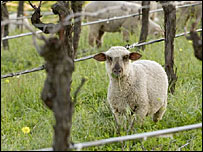 Sheep at Sinskey Vineyards (photo by Robert Sinskey)