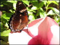 A male Hypolimnas bolina, or blue moon, butterfly