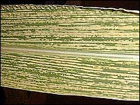 Maize plant leaf infected with maize streak (Pic: University of Cape Town)