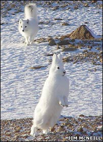 Arctic fox and hare (Jim McNeill)