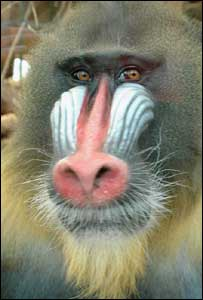 Mandrill, pic courtesy of Chester Zoo