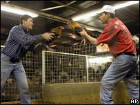 Fighting cock owners in Texas show their birds to each other at the beginning of a fight before Texas banned the practice in June, 2007