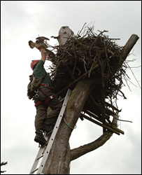 Osprey ringing/Pic: Forestry Commission Picture Library