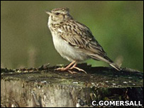 Woodlark (Chris Gomersall / rspb-images.com)