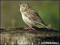 Woodlark (Chris Gomersall / rspb-images.com)