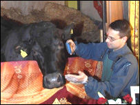 Shambo the bullock is groomed by Brother Jamie at Skanda Vale,