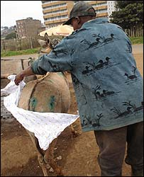 Kenyan donkey owner struggling to tie a nappy on his donkey