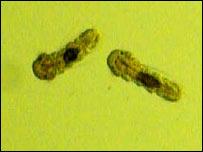 Polychaete juveniles. Image: Bluhm/Gradinger
