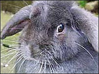 A pet rabbit
