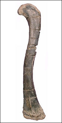 Femur of
