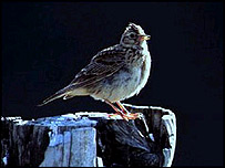 Skylark, RSPB