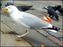 Seagull in action