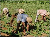 Plantaci�n de tabaco. Foto: Raquel Perez