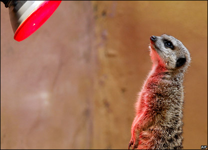 A meerkat under a heat lamp in a zoo in Sydney, Australia