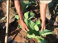 Plantación de tabaco. Foto: Raquel Perez