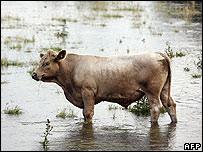 Cow in flooded field