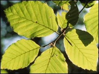 Leaves (picture by Martin Dohrn/Science Photo Library)