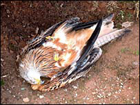 Poisoned red kite (pic: RSPB)