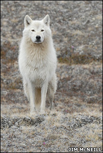 Arctic wolf (Image: Jim McNeill)