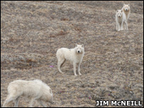 Arctic wolves (Image: Jim McNeill)