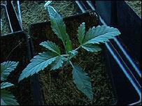 Planta de marihuana en vivero