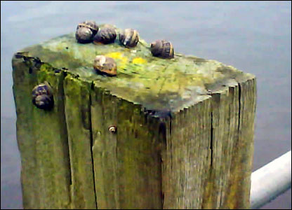 Snails in floods. Copyright Simon Berry
