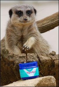Paultons Park meerkat