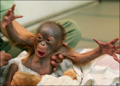 A four-day-old baby Orangutan abandoned by his mother