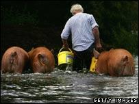 Farmer and pigs in floods