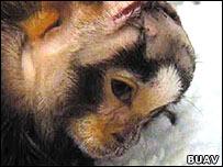 Buav image of marmoset monkey at Cambridge University