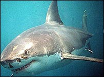 Great White shark (generic)