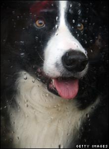 A collie dog