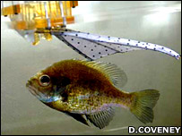 Robo-fin and bluegill sunfish (Image: Donna Coveney)