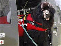 Newfoundland rescue dog