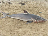 Dead Porbeagle shark: Pic Jan Loveridge, Cornwall Wildlife Trust