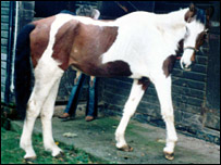 Lame horse, picture from RSPCA