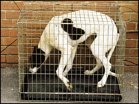 Greyhound in cramped cage. Picture from RSPCA