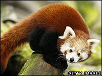 Red panda (Getty Images)