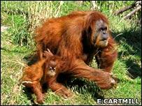 Orangutans (Erica Cartmill)