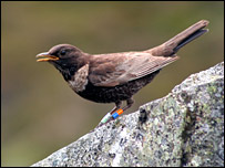 Female ring ouzel. Picture by RSPB