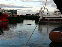 Minke whale in Fraserburgh Harbour [Pic: Kevin Hepworth]