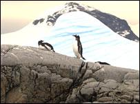 Ping�inos en la coste del Territorio de Graham