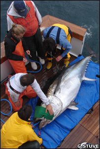 Scientists fitting a tag to a bluefin tuna (Image: Gary Stuve)