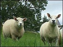 Sheep at a farm in Brecon